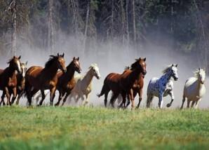 troupeau-de-chevaux